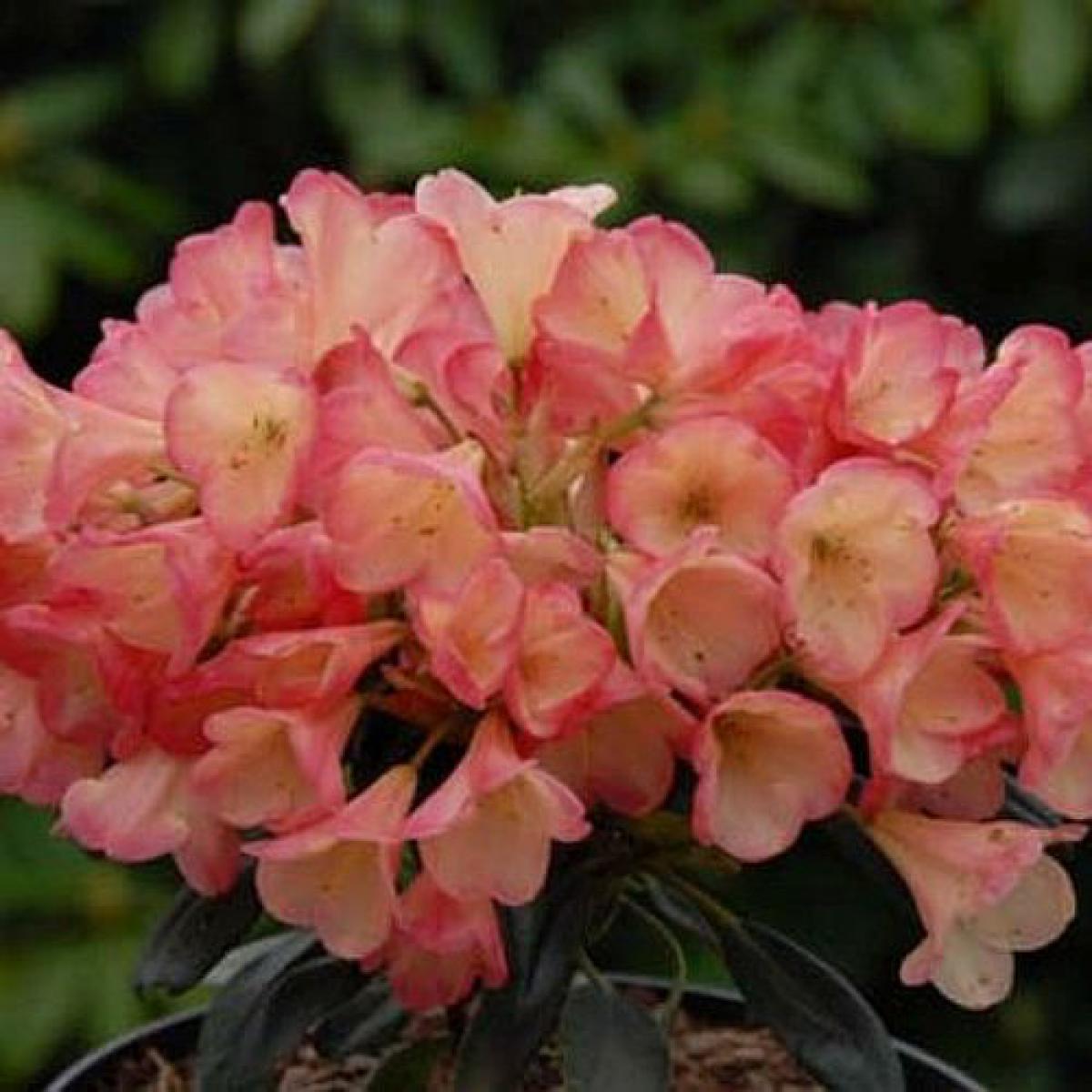 sortiment rhododendron yakushimanum hybriden. Black Bedroom Furniture Sets. Home Design Ideas