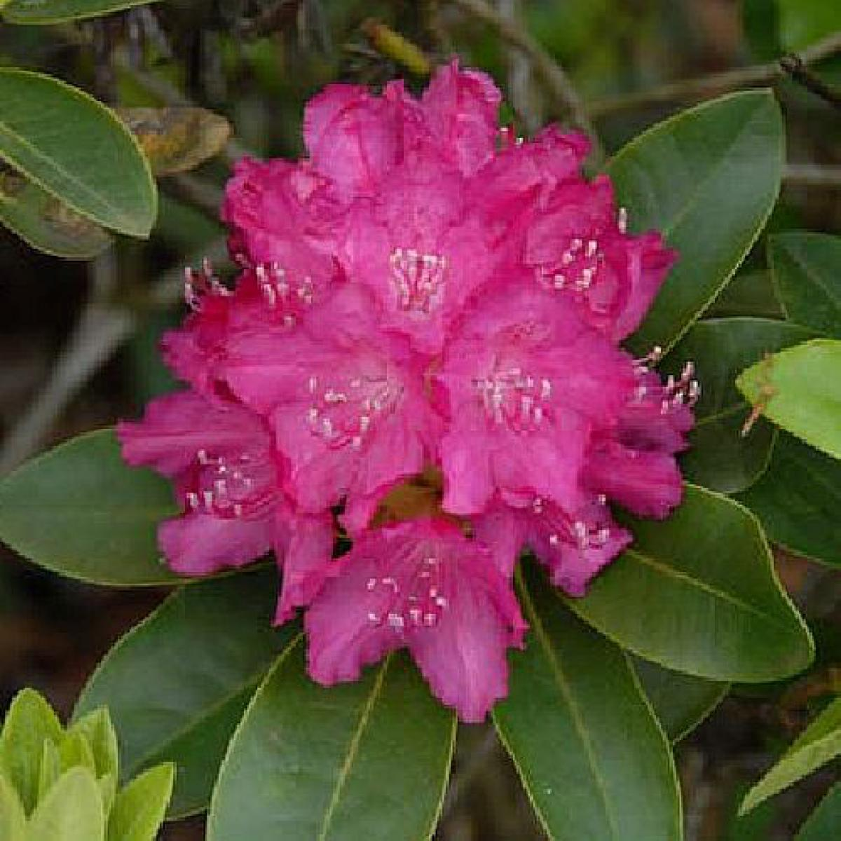 sortiment rhododendron gro blumige hybriden. Black Bedroom Furniture Sets. Home Design Ideas